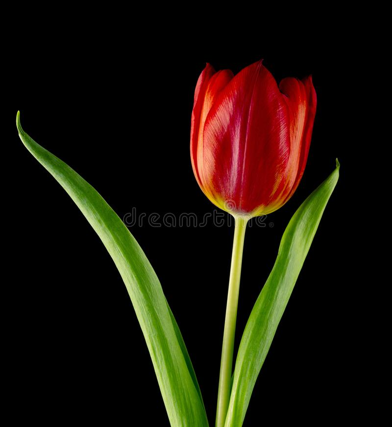 Tulip isolated on Black background stock images