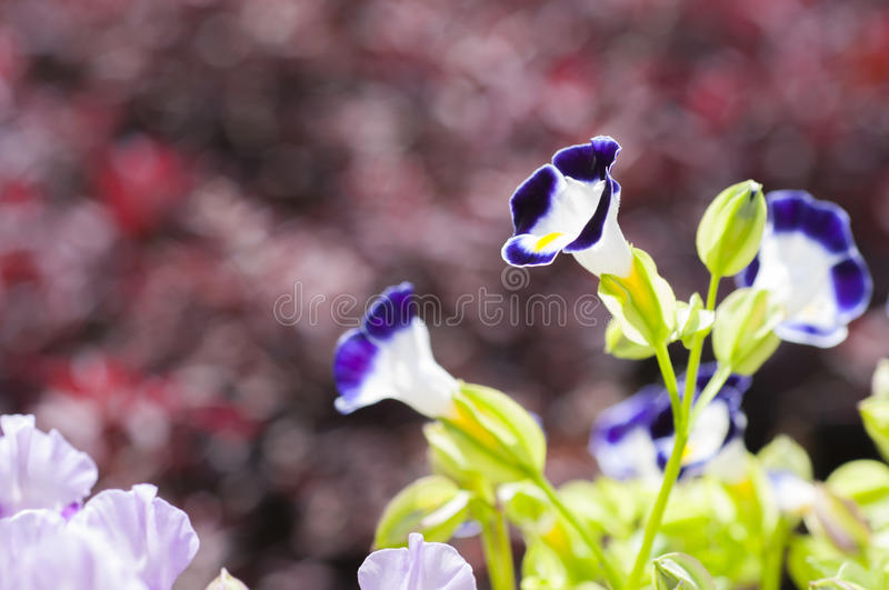 Close up view small purple with yellow flower. Wishbone flower, Bluewings, Torenia,(Torenia fournieri Lindl. ex Fourn royalty free stock images