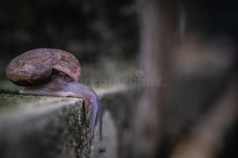 Close up view of snail crawling on cement floor. With blurred background, Monachoides vicinus, biology royalty free stock image