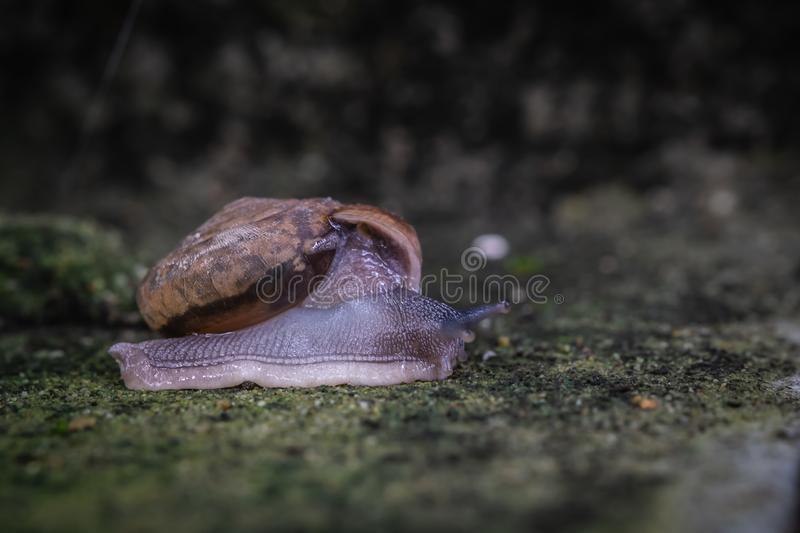 Close up view of snail crawling on cement floor. With blurred background, Monachoides vicinus, biology royalty free stock photos