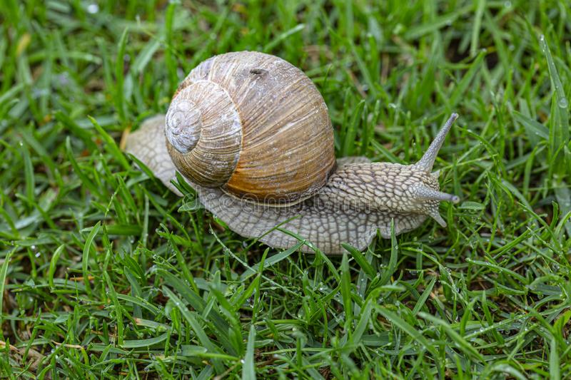 Close up view of snail on green grass isolated. Beautiful nature backgrounds stock photos