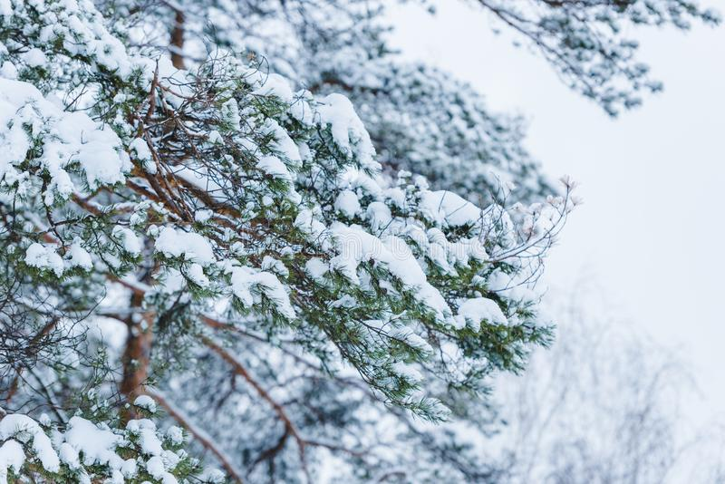 Close-up view of snow covered branches. In winter park stock photo