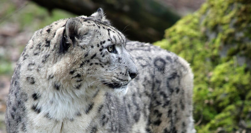 Close Up View Of A Snow Leopard Stock Photo Image Of Nature