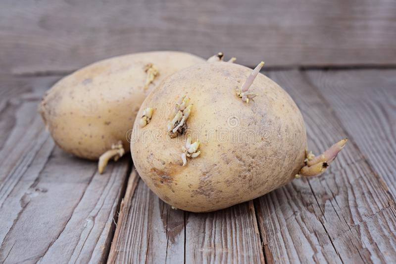 Close up view of sprouted potato on wooden background stock photo