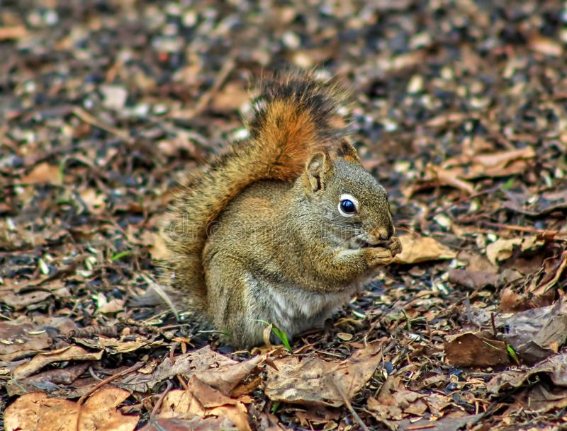 Cute Squirrel Eating Seeds royalty free stock photography