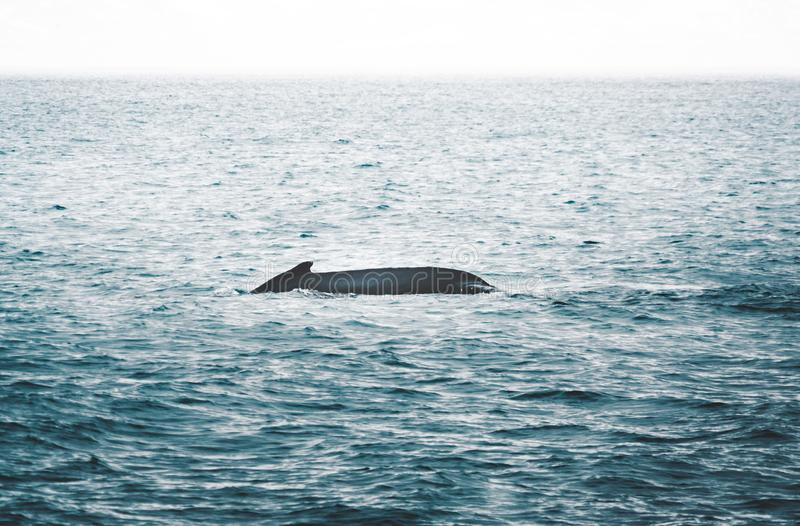 Close up view of the tail of humpback whale jumping in the cold water of Atlantic ocean in Iceland. Concept of whale stock photos