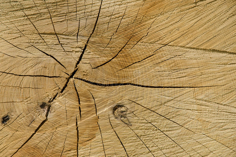 A close-up view of the texture of a natural cut of a beech tree royalty free stock image
