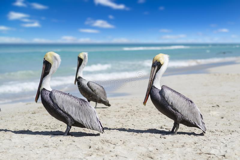 Close-up view of three pelicans on a ocean beach in Cuba, beautiful water and sky. Blurred background, bokeh, free space royalty free stock image