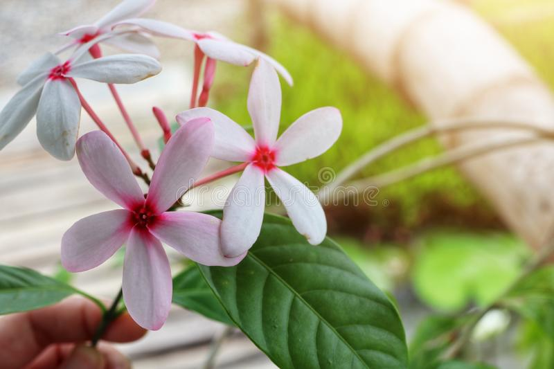 Close-up view, top view, white and light pink flowers, natural blurred background. Outdoor stock image