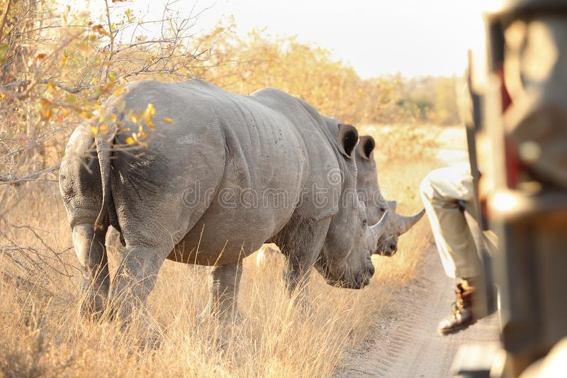 Close up view of an two African White Rhino. Standing near a safari vehicle with a tracker in front looking for tracks and poaching stock photography