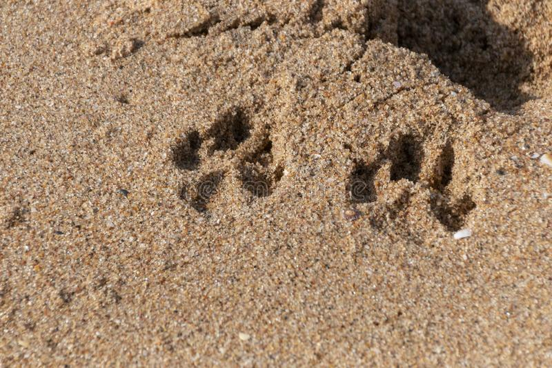 Dogs Paws In The Sand. A Close up view of two dogs paws prints in the beach sand on a sunny summers day royalty free stock photo