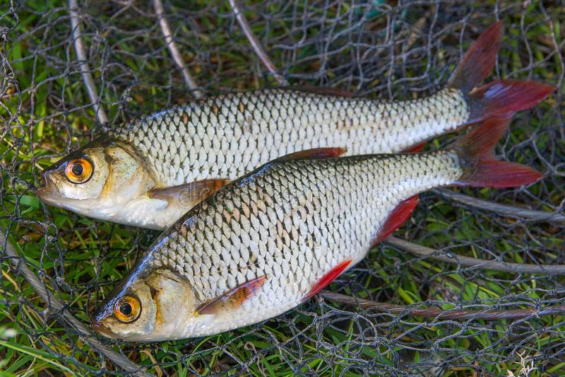 Close up view of two freshwater common rudd fish on black fishing net.. stock photos