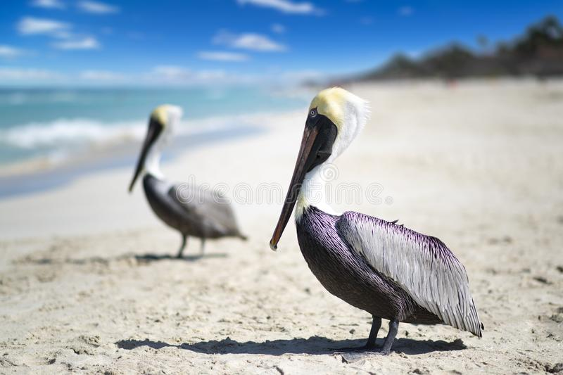 Close-up view of two pelicans on a ocean beach in Cuba, beautiful water and sky. Blurred background, bokeh, free space royalty free stock images