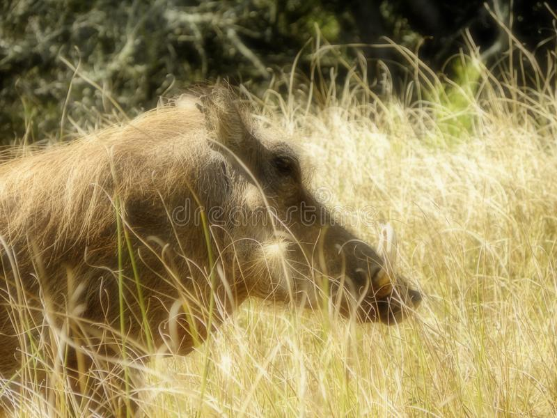 Warthog male in grassland stock images