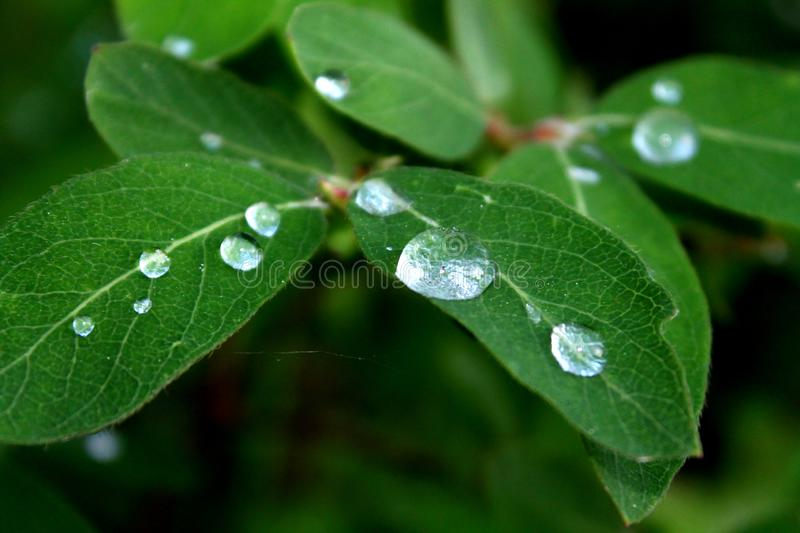 Close up view of water drops on green leaf. Real forest stock photos