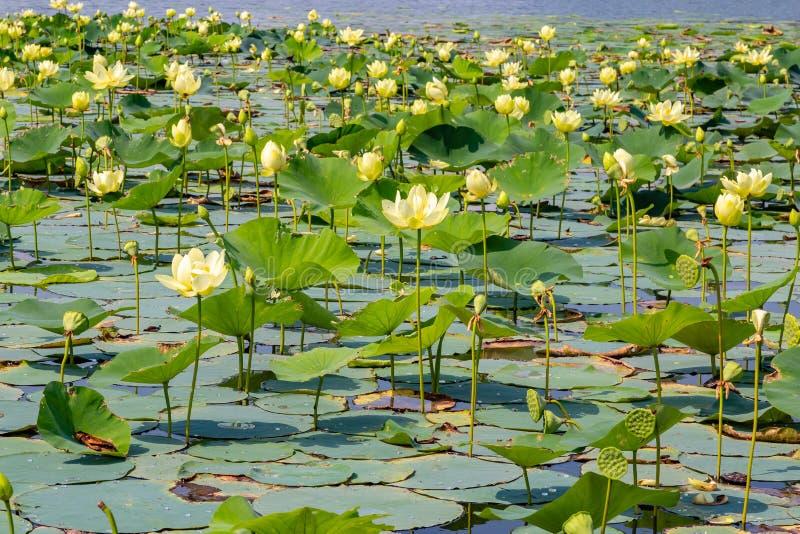 Close up view of Lotus flowers on Carter Lake Iowa royalty free stock image