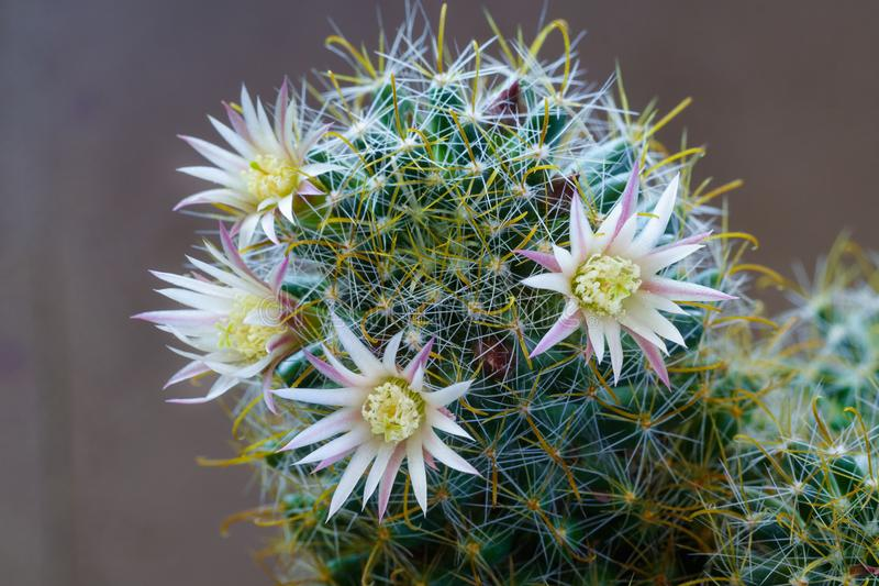 Close up view of a white flowers of cactus stock images