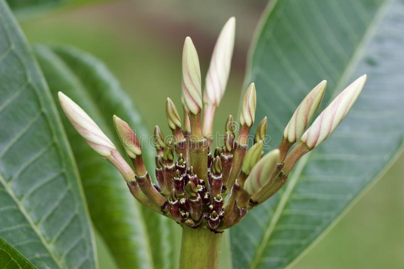 Close up view of a white plumeria flower inflorescence ready to bloom. Close up view of a white plumeria frangipani flower inflorescence with buds ready to bloom royalty free stock images