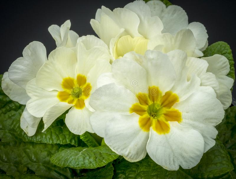 Close up of a White Primula royalty free stock images