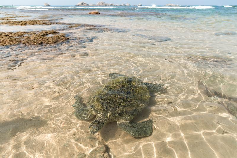 close up view of wild turtle in water, hikkaduwa, royalty free stock photos