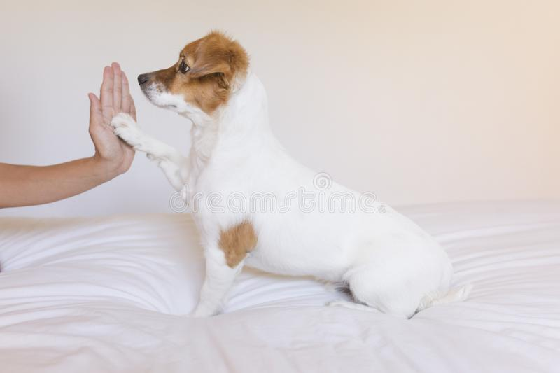 close up view of a woman hand high five with cute small dog over white background. Dog is sitting on bed. Daytime, pets indoors, royalty free stock photo