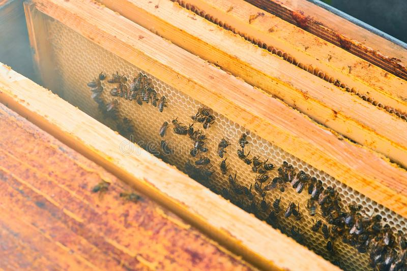 Close up view of the working bees on the honeycomb with sweet honey. Honey is beekeeping healthy produce. royalty free stock image