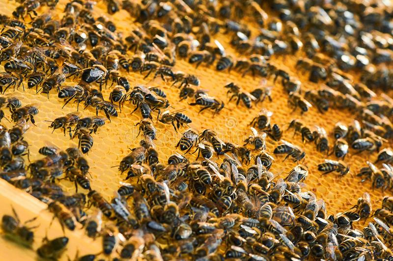 Close up view of the working bees on the honeycomb with sweet honey. Honey is beekeeping healthy produce. royalty free stock photography