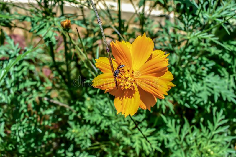 Close up view of the yellow colored flower with insect on top in the garden. Close view yellow colored flower insect top flora nature greenery nobody outdoor royalty free stock image