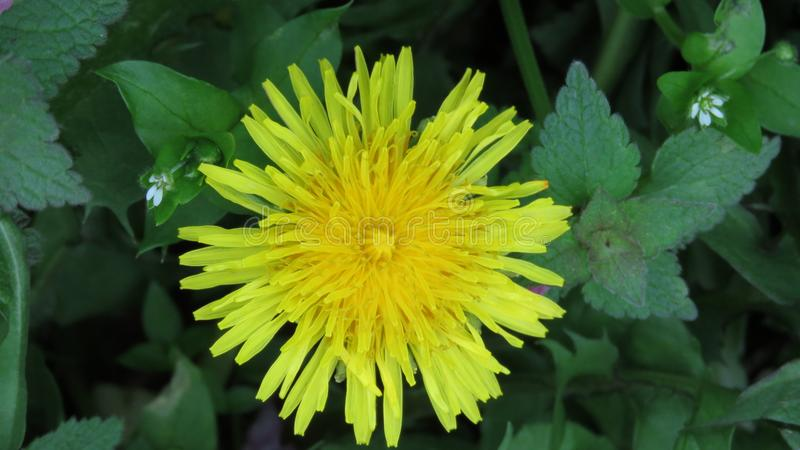 Top close up view of a yellow dandelion in its natural habitat on green background. Concept of environmental protection and respect for nature royalty free stock photos