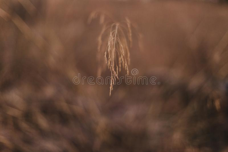Close up view Yellow field.Beautiful Nature Sunset Landscape. Rural Scenery under Shining Sunlight. Background yellow plants. Rich. Harvest Concept, outside royalty free stock image