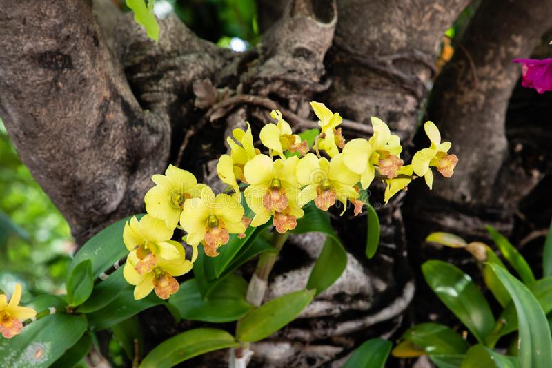 Close up view from a yellow orchid with green leaves and a trunk in the background royalty free stock images