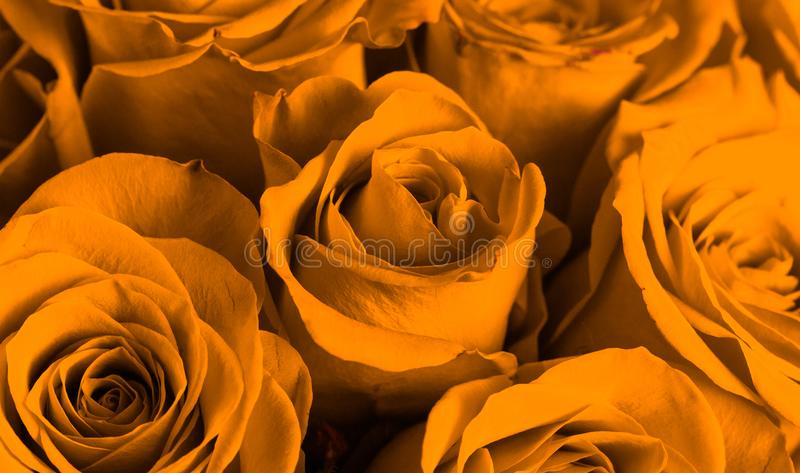 Close Up View of Yellow Roses. A Close Up View of Yellow Roses stock images