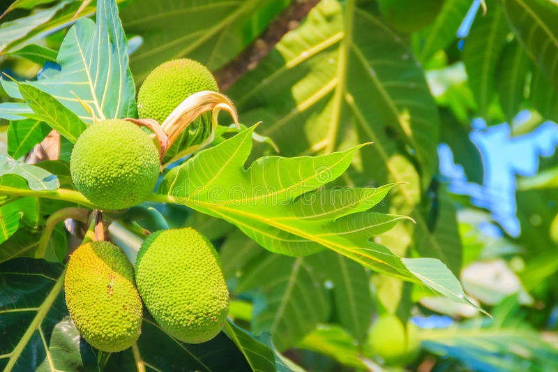 Close up view of young green breadfruit (Artocarpus altilis) fruit on tree with green leaves. Bread fruit tree originated in royalty free stock photography