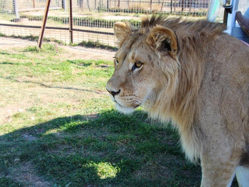 Close-up view of young lion royalty free stock photography