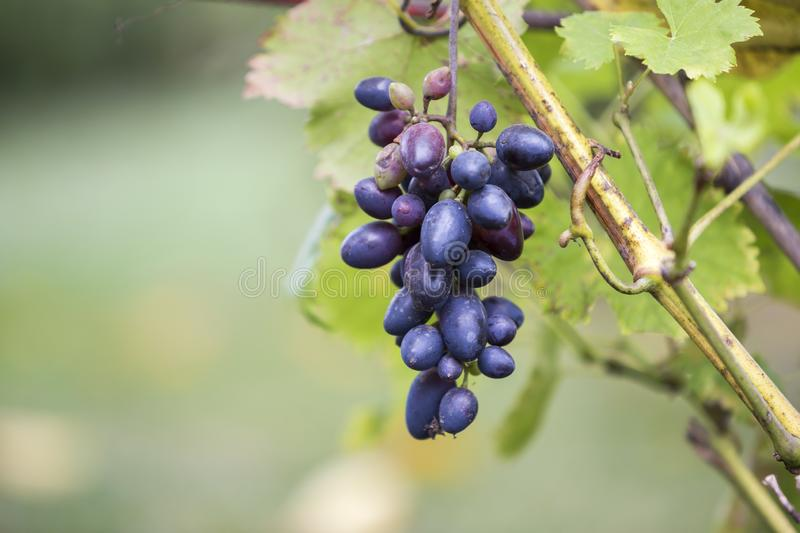 Close-up of vine branch with green leaves and isolated golden blue ripe grape cluster lit by bright sun on blurred colorful bokeh. Copy space background stock image