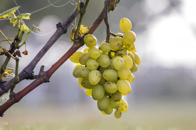 Close-up of vine branch with green leaves and isolated golden yellow ripe grape cluster lit by bright sun on blurred colorful stock photography