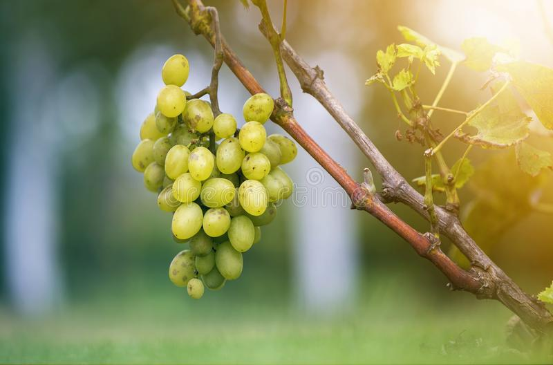 Close-up of vine branch with green leaves and isolated golden yellow ripe grape cluster lit by bright sun on blurred colorful stock photo
