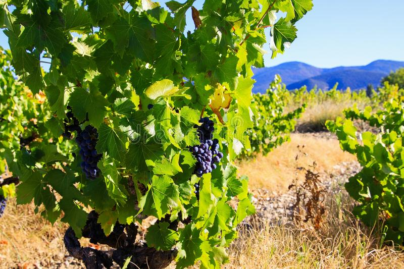 Close up of vine with ripe red grapes ready for harvest. Blue sky and mountains background. Provence, France stock photo