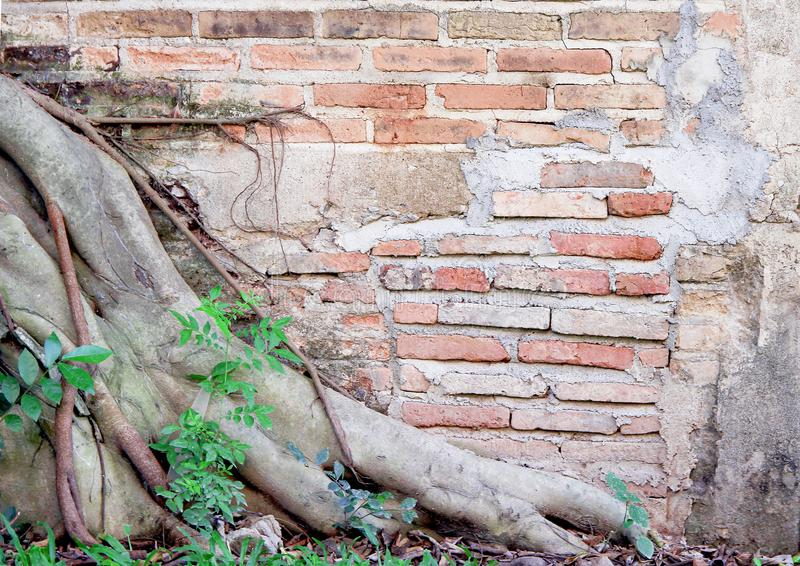 Vintage brick wall surface with  tree roots and green plants growing on background stock photos