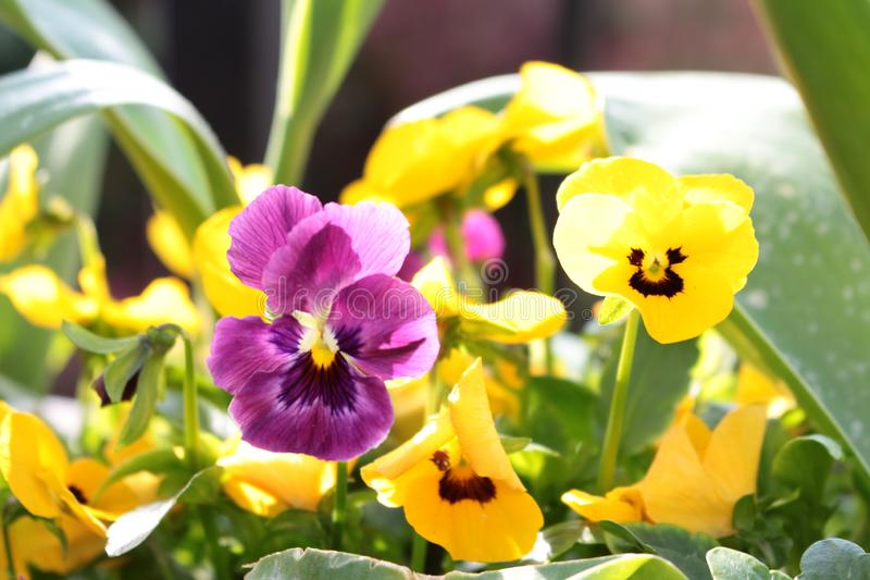 Violas purple and yellow close up in a garden border. Close up Violas in a garden border with blurred background. Flowers purple and yellow. Leaves green royalty free stock photos