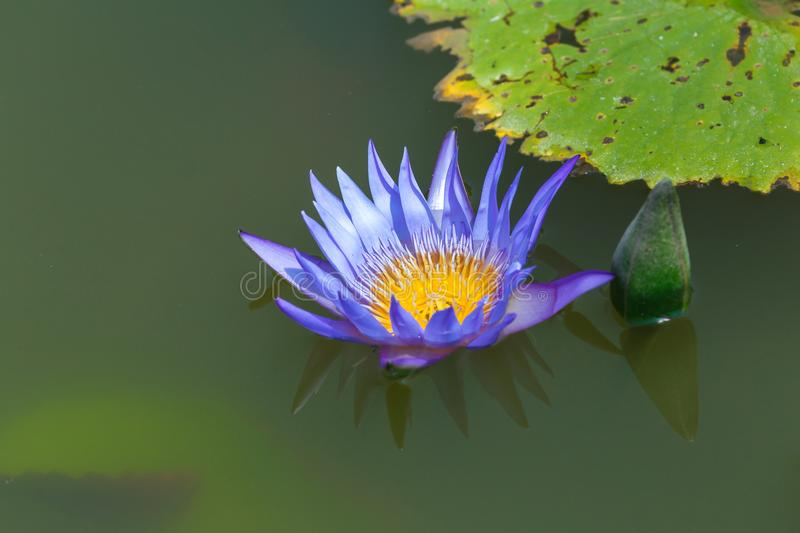 Close up Beautiful purple lotus Water Lily flower on the water. royalty free stock photos