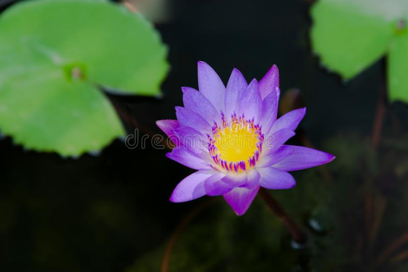 Close up of violet lotus flower or water lily with green leaves in the garden stock photos