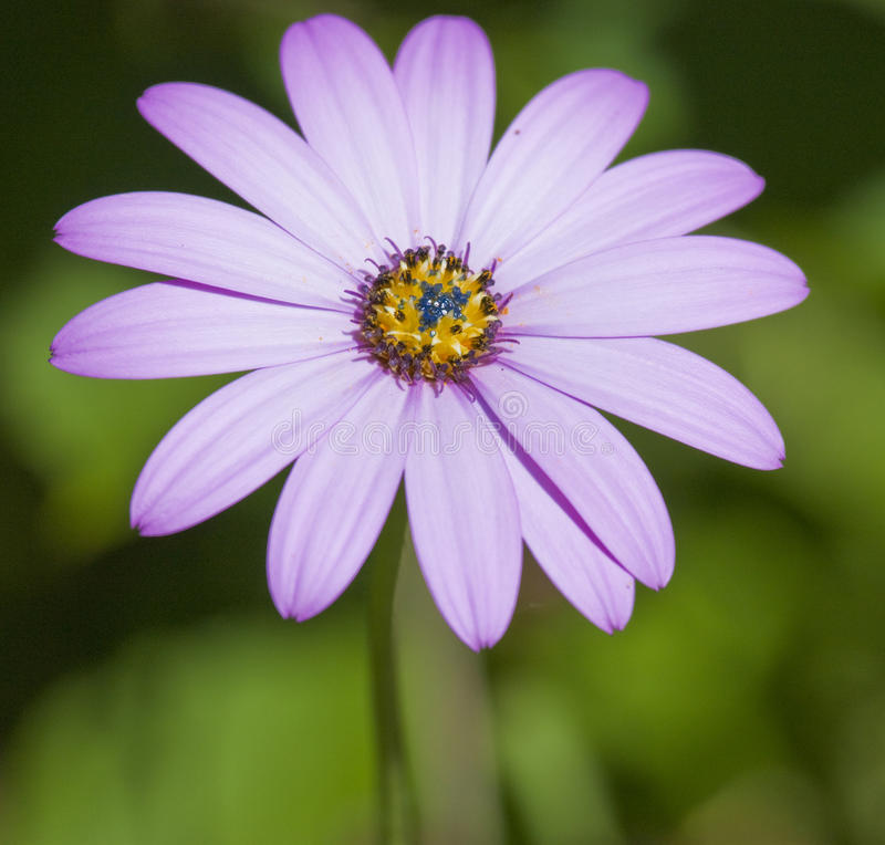 Close up of violet pink daisy