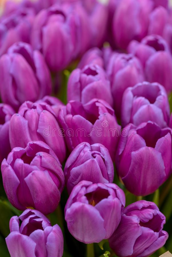 Close-up violet tulips flowers royalty free stock photography