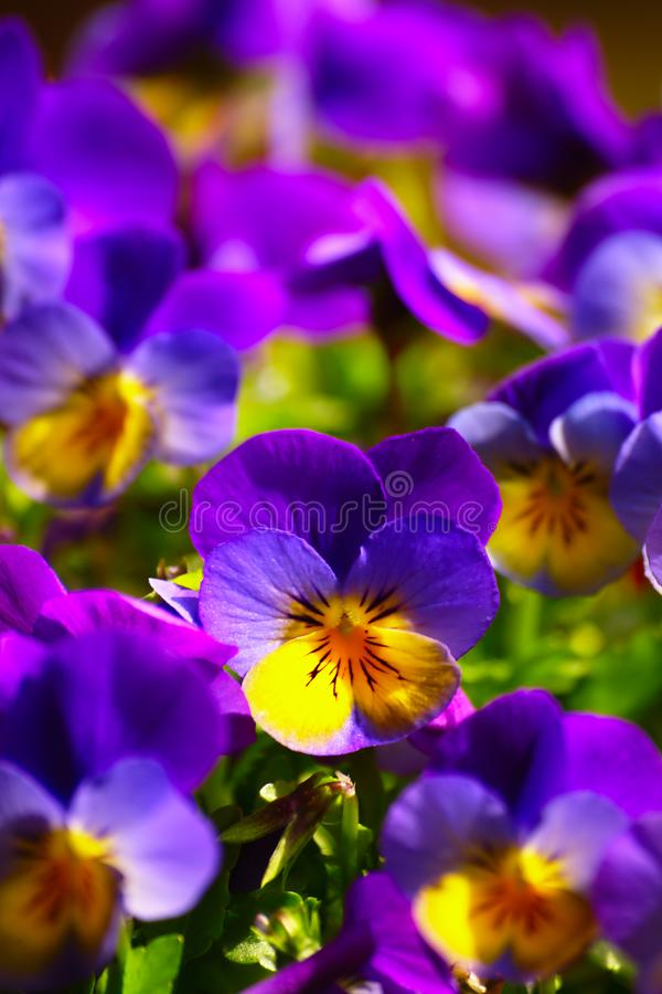 Violets In Spring stock image