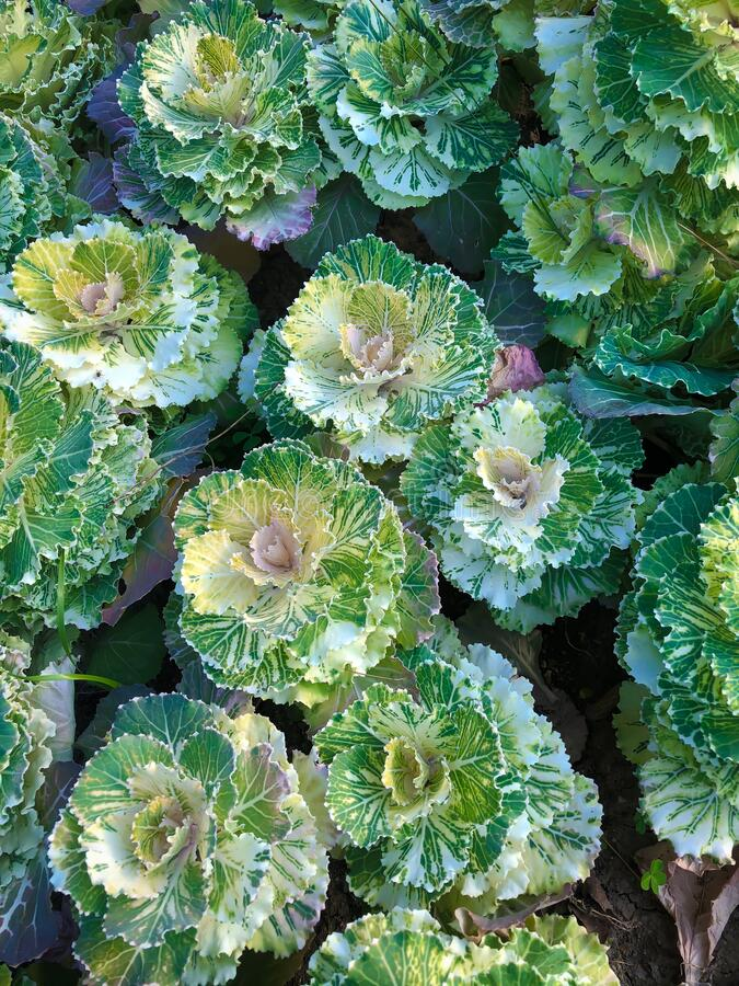 Close up vivid green and white decorative cabbage flowerbed. Close up vivid green and white decorative cabbage plant flowerbed royalty free stock images