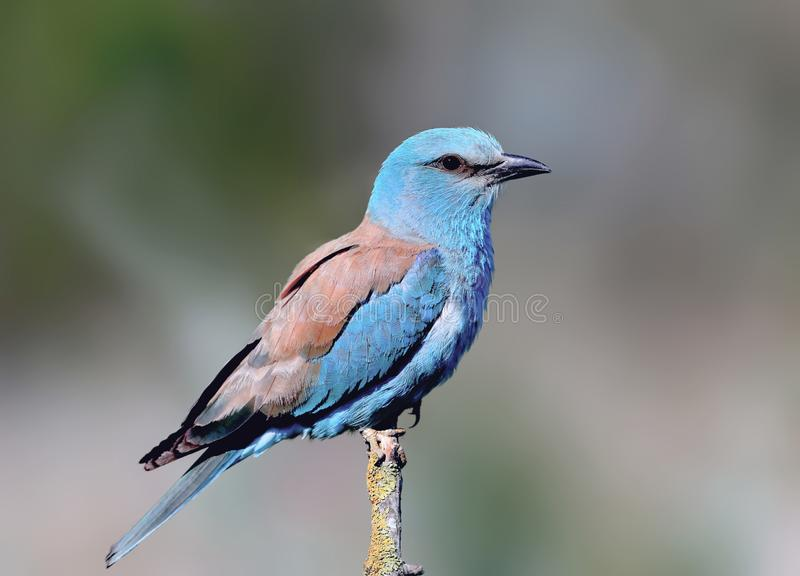 Close-up and vivid photos of the European roller Coracias garrulus. Are sitting on a branch on a beautiful blurred background. Bright colors and detailed royalty free stock photography