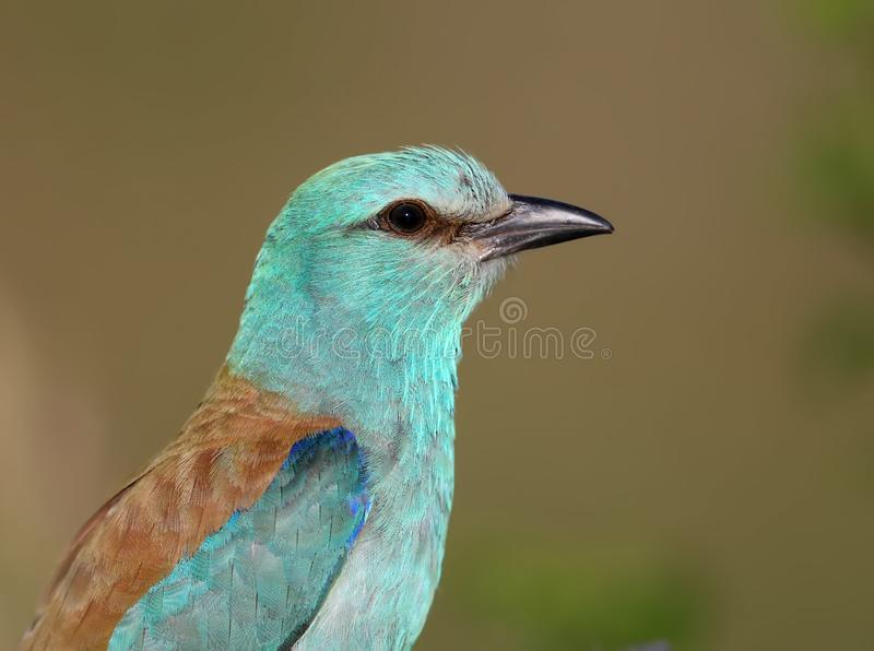 Close-up and vivid photos of the European roller Coracias garrulus. Are sitting on a branch on a beautiful blurred background. Bright colors and detailed stock photography