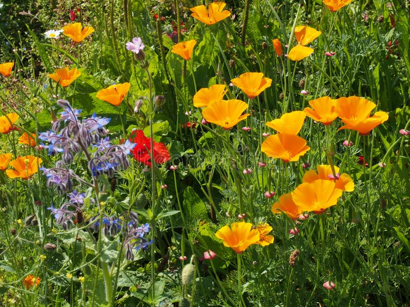 Close up of vivid yellow california poppies a red poppy and other wildflowers flowering in a meadow in bright summer sunlight royalty free stock photos