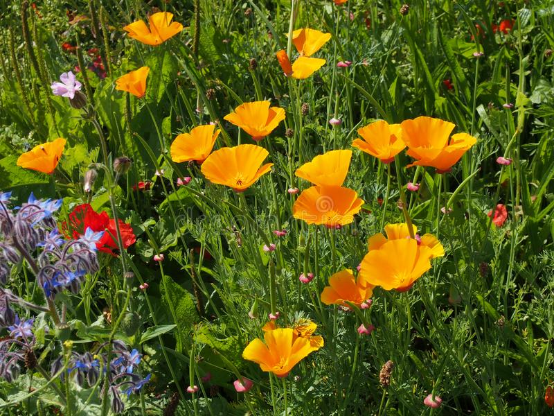 Close up of vivid yellow california poppies surrounded by other wild flowers in a meadow in bright summer sunlight. A close up of vivid yellow california poppies stock photos